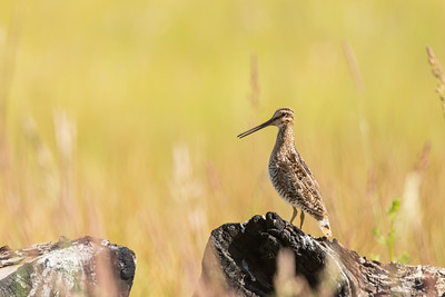 Wilson's Snipe - OR, USA