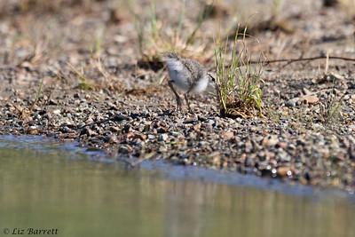 0U2A5877_Spotted Sandpiper chick