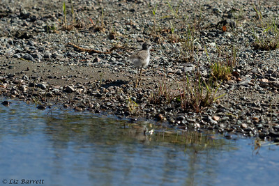 202A4534_Spotted Sandpiper chick
