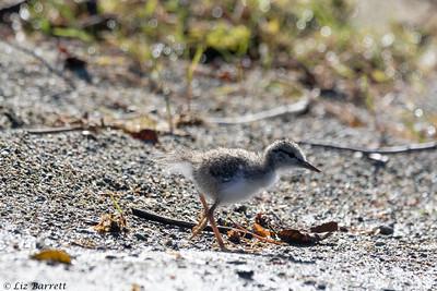 0U2A5668_Spotted Sandpiper_chick