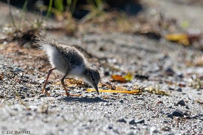 0U2A5702_Spotted Sandpiper chick