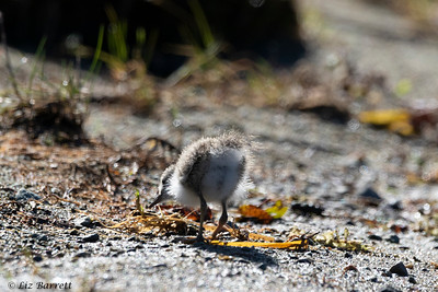 0U2A5709_Spotted_Sandpiper_Chick