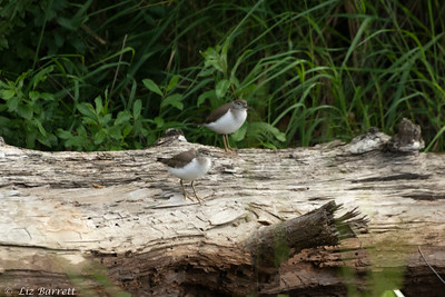 202A7908_Spotted Sandpipers Juv