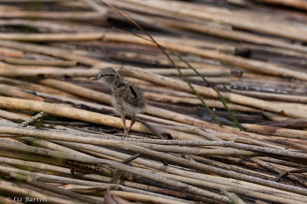 0U2A0831_Sandpiper chick