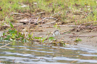 0U2A6200_Spotted Sandpiper chick_Whistler