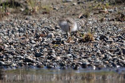 0U2A5890_Spotted sandpiper chick