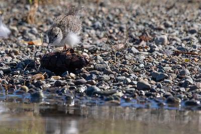 0U2A5892_Spotted Sandpiper chick