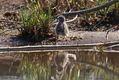 0U2A5796_Spotted Sandpiper chick