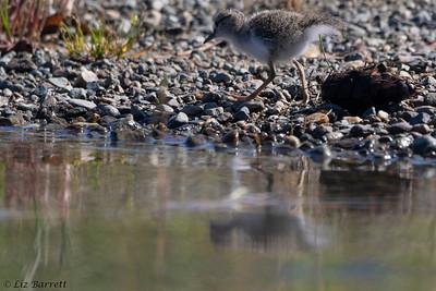 0U2A5894_Spotted Sandpiper chick