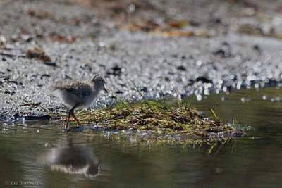 0U2A5689_Spotted Sandpiper chick