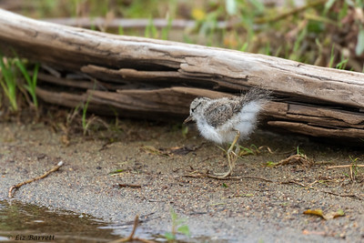 0U2A6197_Spotted Sandpiper Chick_Whistler