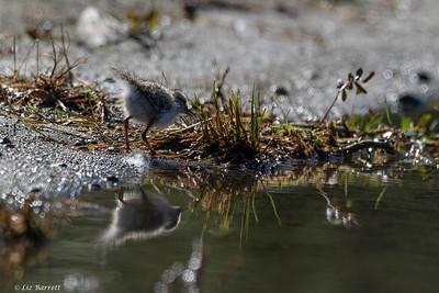 0U2A5731_Spotted Sandpiper chick