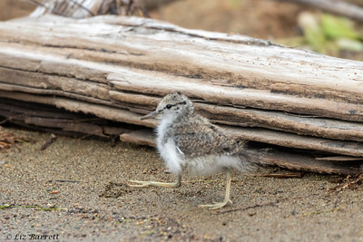 0U2A6193_Spotted Sandpiper chick_Whistler