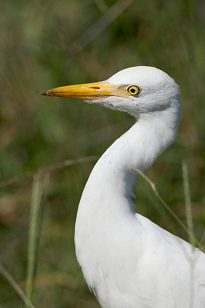 The volunteers at the refuge office said they think this is a Juvenile Cattle Egret. Anybody disagree?