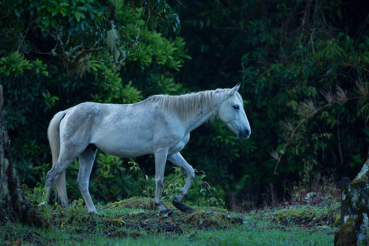Costa Rica Rainforest, 7,000 feet elevation. The Knight's horse.