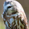 Northern Saw-Whet Owl :