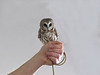 Saw Whet Owl<br /> State Line Lookout, New Jersey<br /> September, 2012