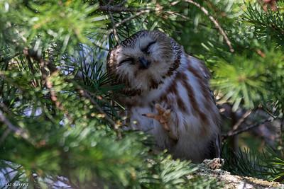 0U2A0116_Sawet Owl