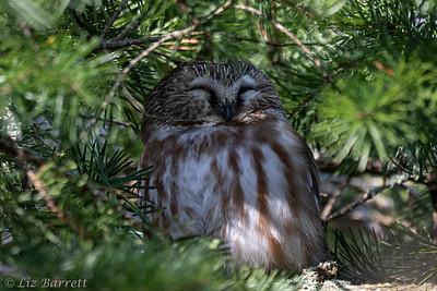0U2A0046_Sawet Owl