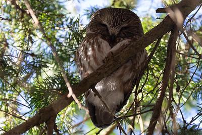 202A9978_Sawet Owl