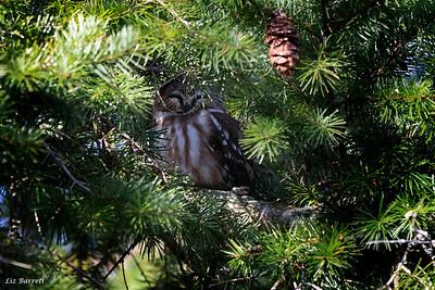 0U2A0139_Sawet Owl