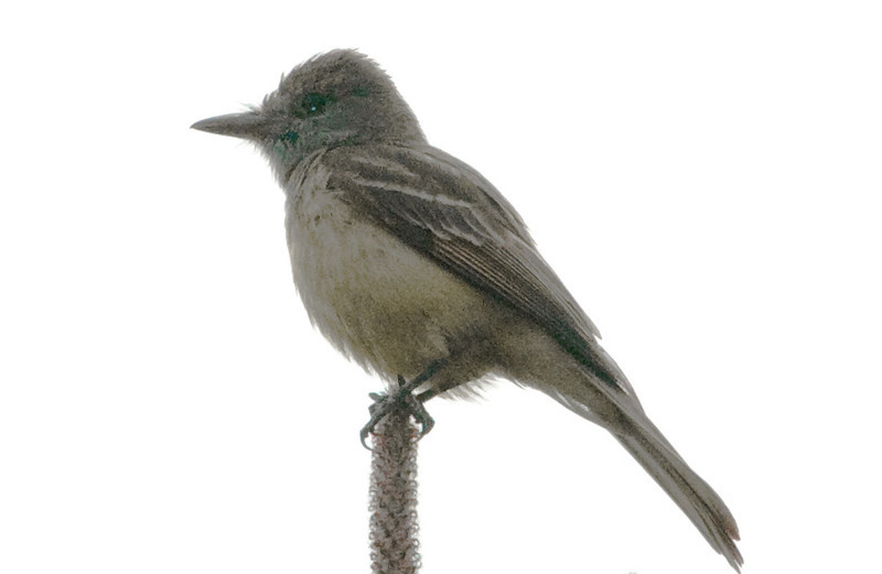 Great-crested Flycatcher (poor light)