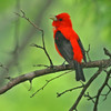 The male Scarlet Tanager was singing frequently, he was also helping with the feeding of the young.