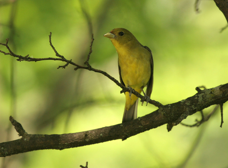 The female Scarlet Tanager was a lot more yellow than I expected and was very bright in the sunlight. She was very tame and spent a lot of time grooming in between feeding of the young.