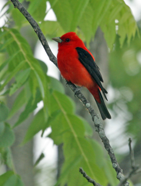 I alway associate Scarlet Tanager as being high up in oak forest, but this one was low to the ground and in the open.