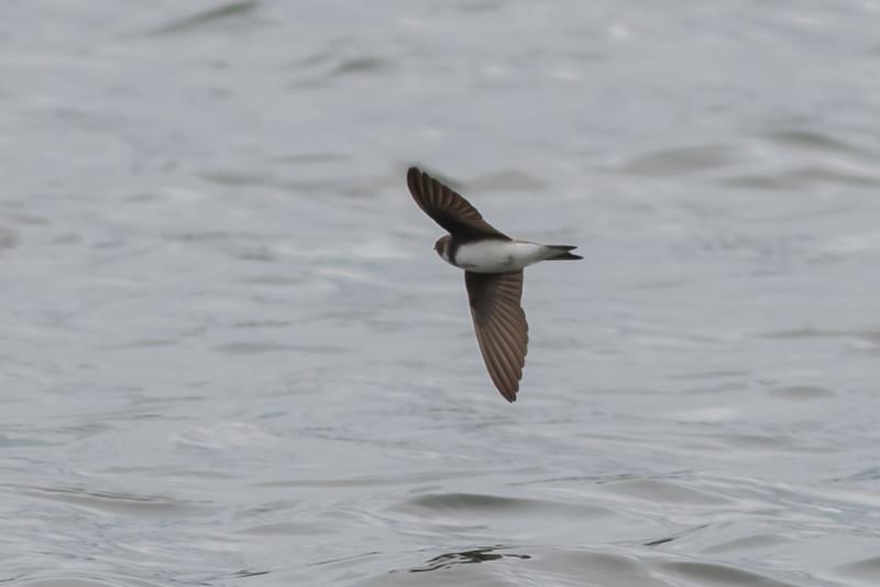 Sand Martin (Bank Swallow)