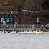 Mute Swans + Black-headed & Lesser Black-backed Gulls, Tufted Duck