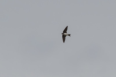 Sand Martin (Bank Swallow)