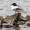 Goosanders (Common Merganser)