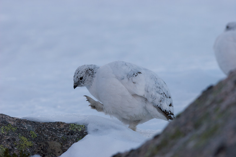 Ptarmigan (winter)
