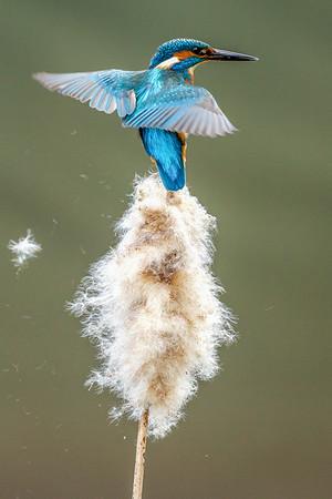 Kingfisher on teasel