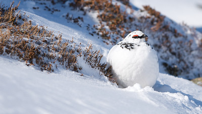 Ptarmigan (Male-winter)