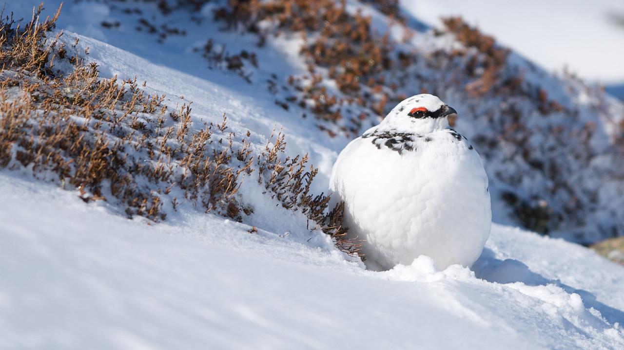 Ptarmigan (Male-winter)