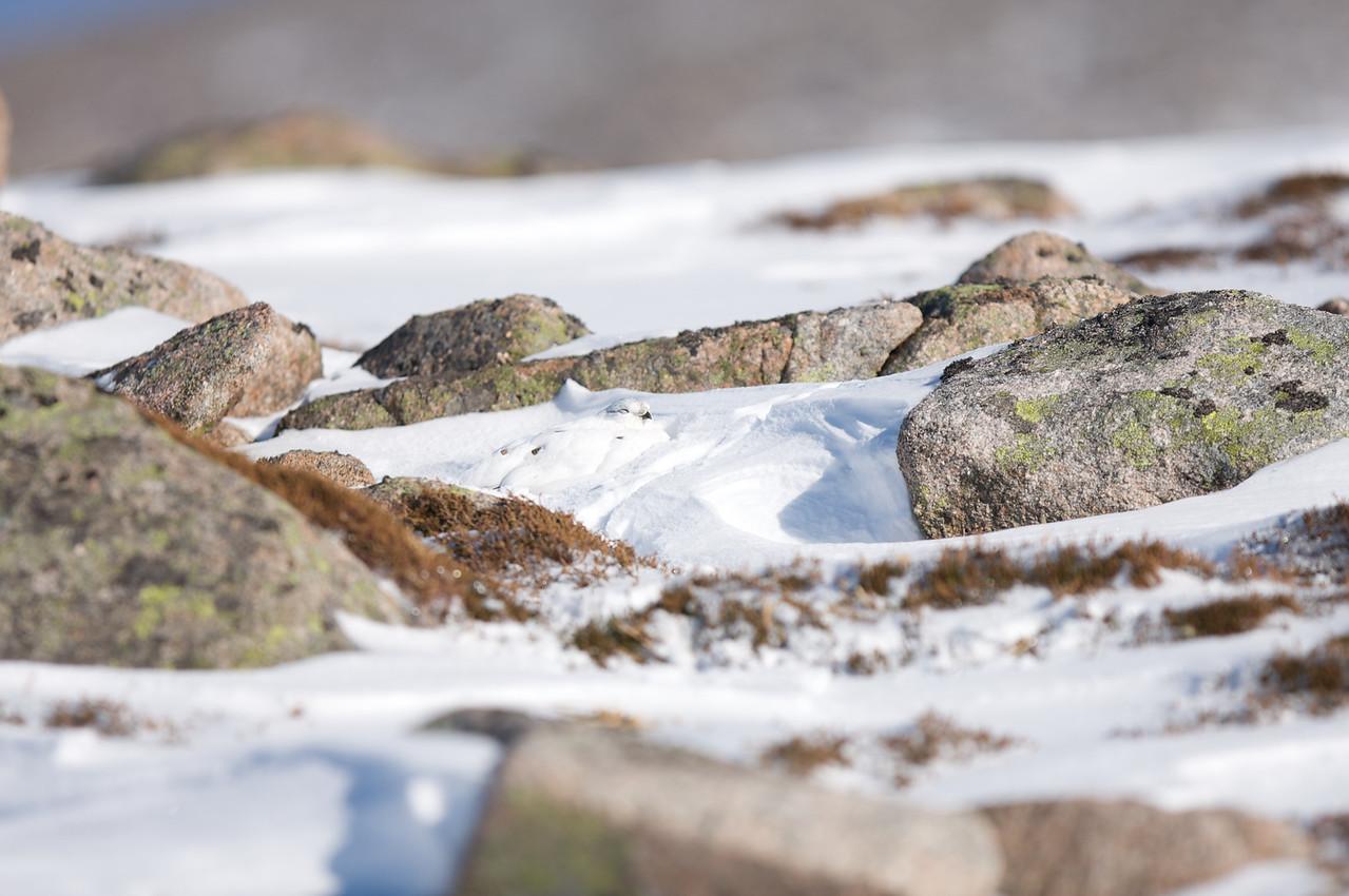 Ptarmigan (Female-winter)