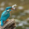 Kingfisher with fish