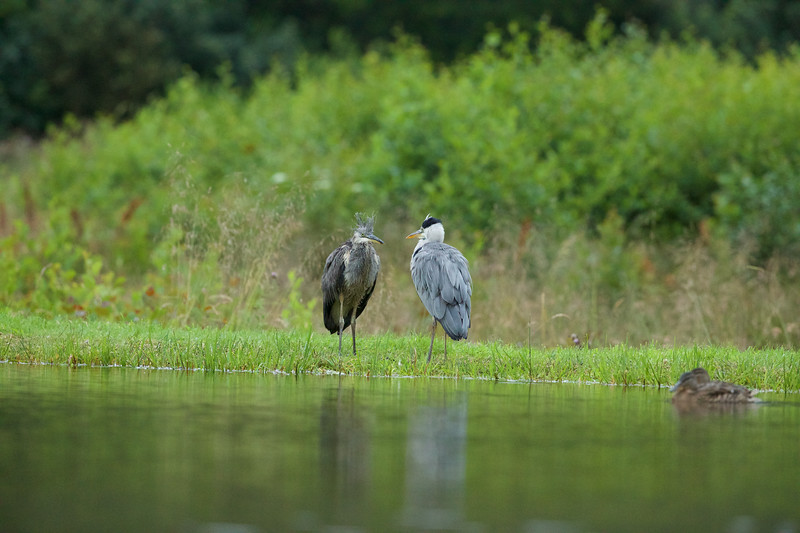 Grey Heron & young