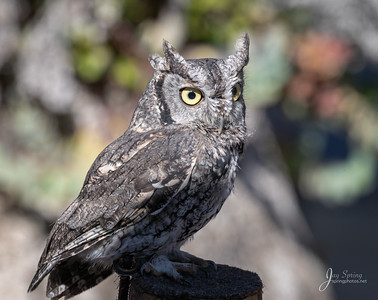 """I need to file a complaint with the Bird naming board. The Great Horned Owl is named for his tufts. Well, I have  tufts too! Shouldn't I be called Horned Owl as well? That name sounds much more intimidating than """"screech"""" and I don't even screech!!  Sincerely Gus, the most popular ambassador of  #ocbpc #orangecountybirdofpreycenter . Western Screech Owl . ."""