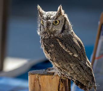 "Screech Owl ""Gus"""