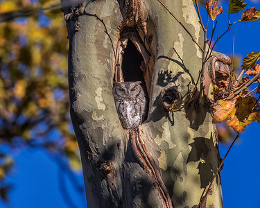 Screech Owl Lakewood 0231