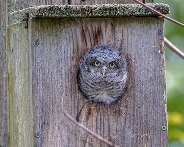 2018May18_Screech Owl Nest Maumee_0305 C