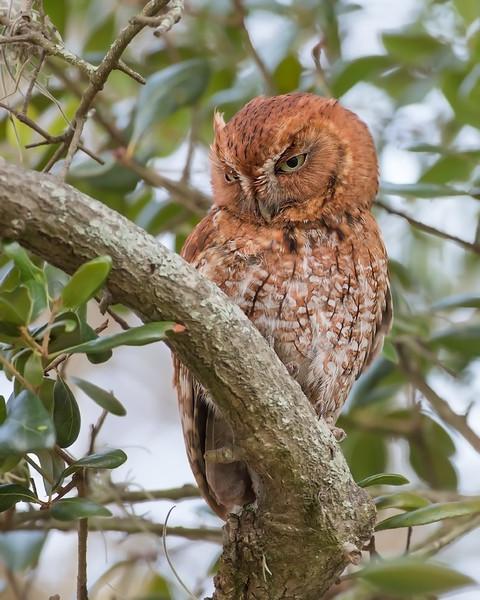 Adult Male Screech Owl (Red Morph)
