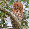 Adult Male Screech Owl (Red Morph)