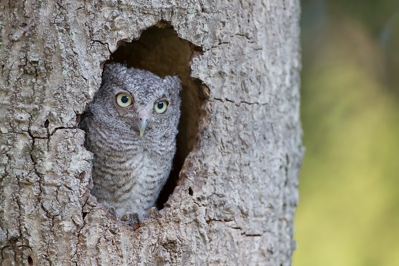This little one is surveying his surrounding in preperation for venturing out of it's cavity.  Not long after this photo was taken this owlet left the safety of the cavity to join his sibling who had already done so. To young to fly, but wow! These guys can climb.