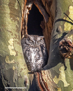 Screech Owl Lakewood 0130 revision 1
