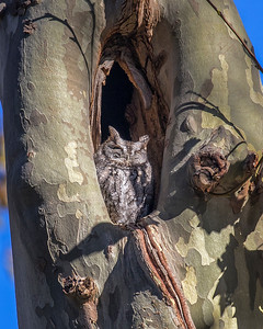 Screech Owl Lakewood 0048 revidion 2