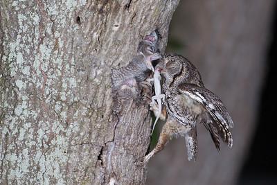 Easter screech owls